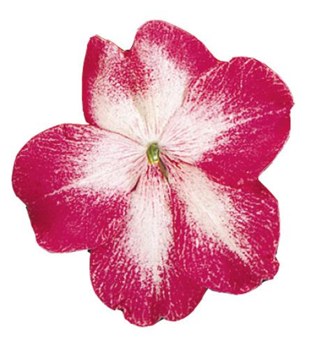 Cupido Rose Bicolor