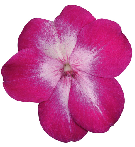 Cupido Violet Bicolor