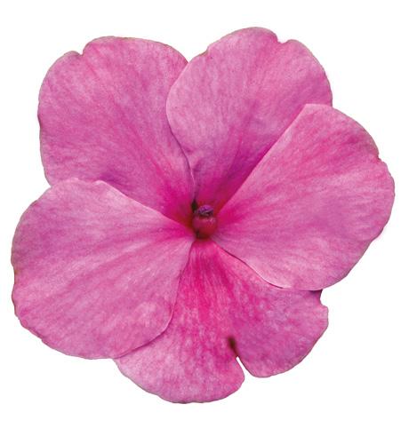 Cupido Pink