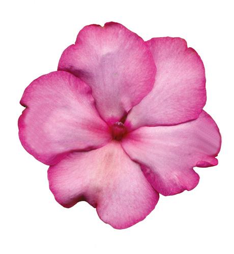 Cupido Picotee Pink
