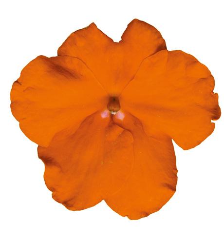 Cupido Orange