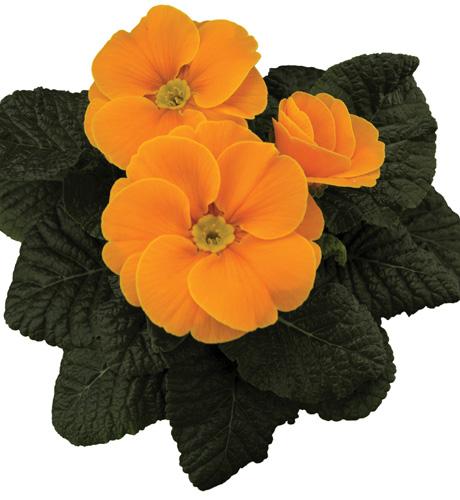 Tobie Orange