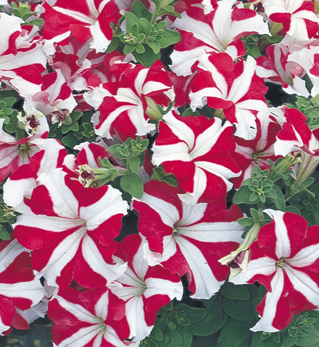 Sublima Star Red