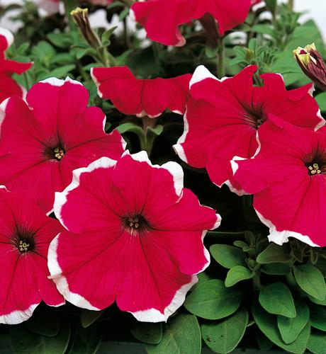 Sublima Picotee Rose