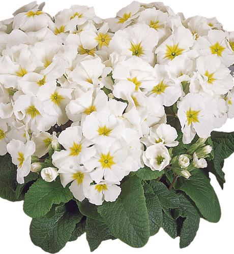 Crescendo White