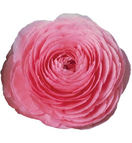 Bloomingdale Pink