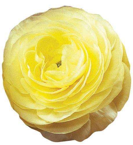 Bloomingdale Yellow