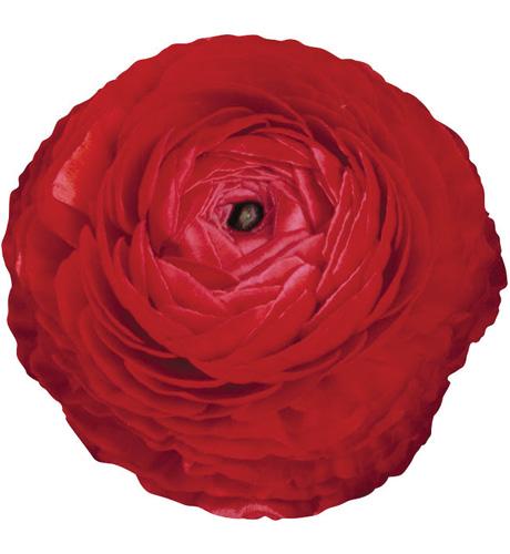 Bloomingdale Red