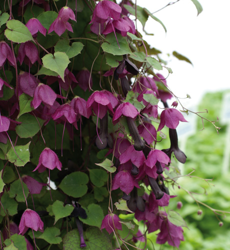 Purple Bells
