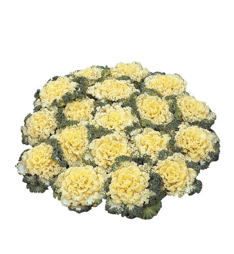 Brassica oleracea Nagoya White