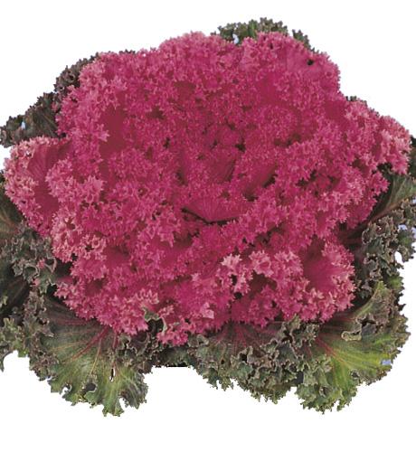 Nagoya Rose