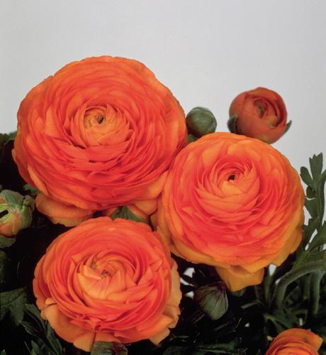 Bloomingdale Tangerine