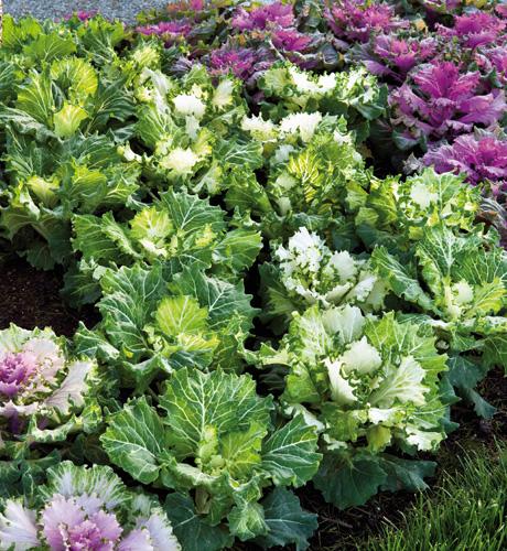 Brassica oleracea Osaka Pink