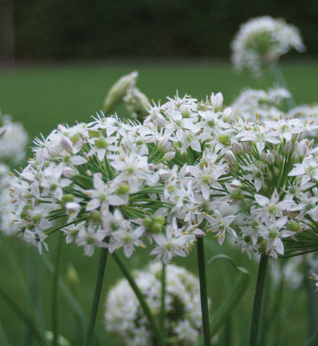 Chinese Chive