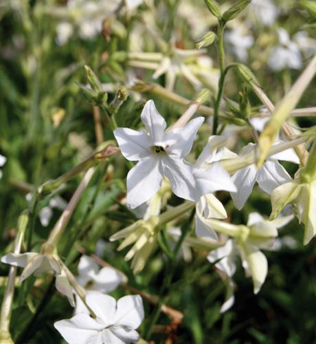 Grandiflora White