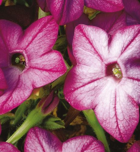 Davidof Purple Bicolor
