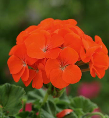 Vogue Orange