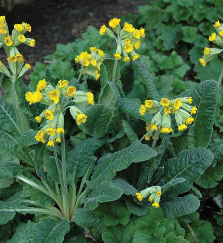 Cowslip Yellow
