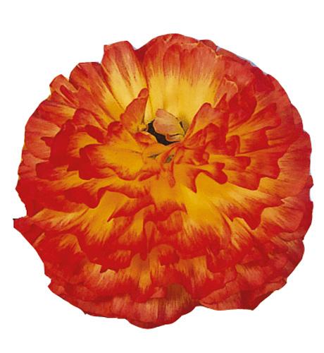 Bloomingdale Orange Bicolor