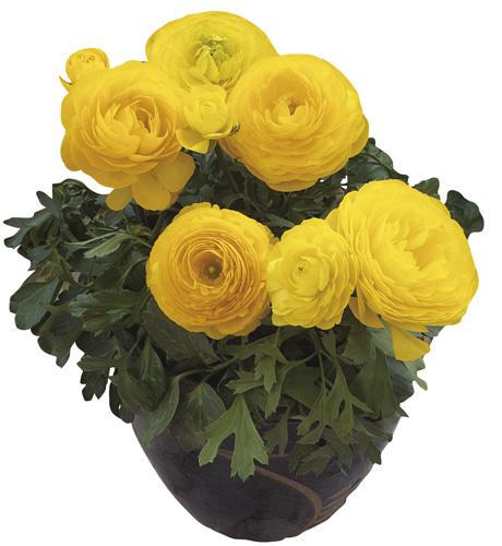 Maché Yellow