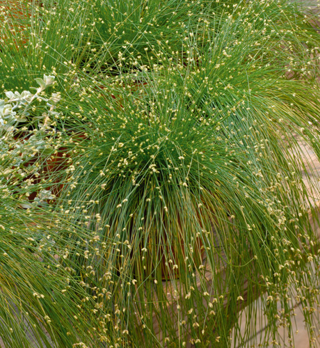 Isolepis cernua Live Wire