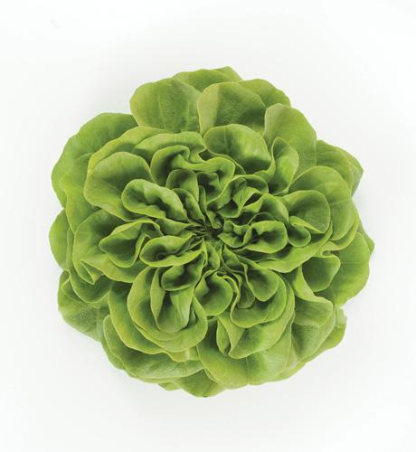 ButterheadLettuce Green