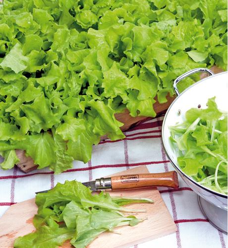Lettuce Loose Leaved