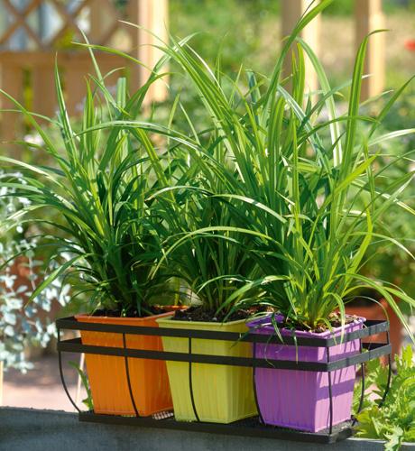 Carex pendula Fresh Look