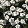 Achillea ptarmica The Pearl