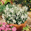 Angelonia angustifolia Serena White