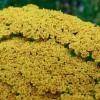 Achillea filipendula Cloth of Gold