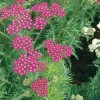 Achillea millefolium Cherry Red