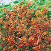 Agastache rugosa Apricot Sprite