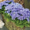 Ageratum houstonianum Packstar Blue