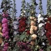 Alcea rosea Chaters Mix Improved