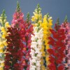 Antirrhinum majus Rocket Mix