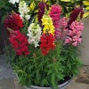 Antirrhinum majus Summer Mix