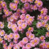 Aster alpinus Happy End Rose