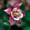 Kirigami Rose Pink