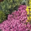 Arabis caucasica Little Treasure Deep Rose