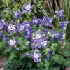 Aquilegia caerulea Spring Magic Blue White