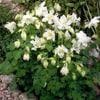 Aquilegia caerulea Spring Magic White