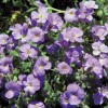 Aubrieta cultorum Royal Blue