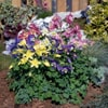 Aquilegia caerulea Spring Magic Mix