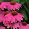 Espinoso Rosy Red