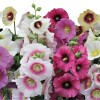 Alcea rosea Halo Mix
