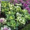 Brassica oleracea Osaka Mix