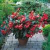 Begonia hybrida Dragon Wing Red