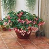 Begonia hybrida Dragon Wing Pink