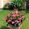 Begonia hybrida Big Bronze Rose